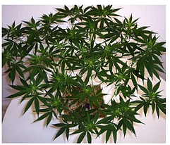 cannabis plant.png