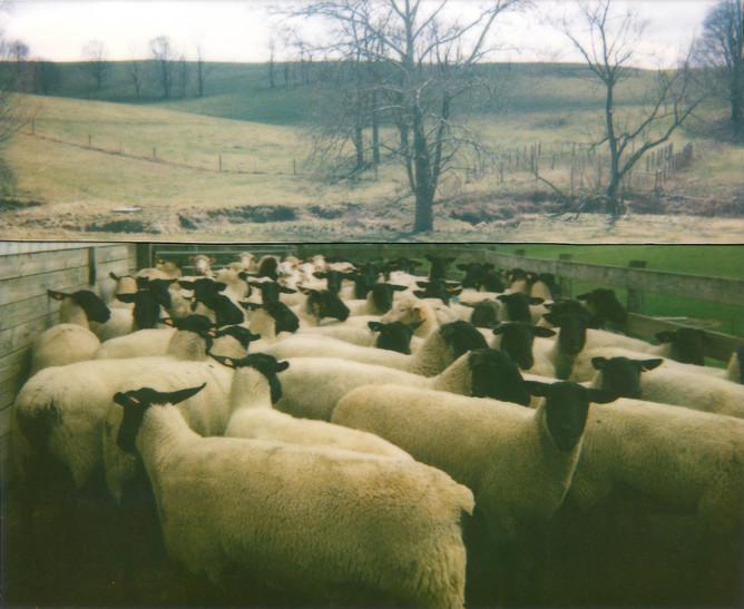 Cut Sheep Pen, 2010