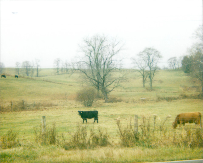 Field Cow Trees Road