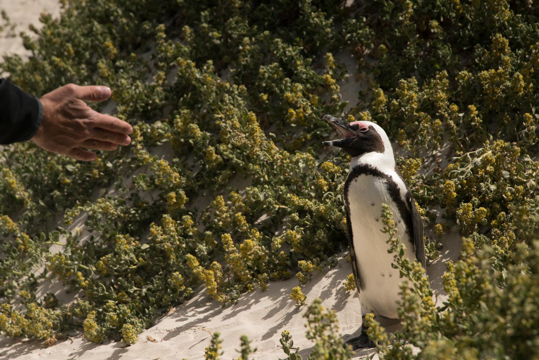 Пингвины Серф трип Дорога Садов ЮАР Unravel Surf Travel