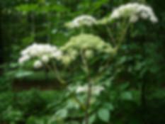 дягиль лесной.jpg