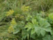 борщевик сибирский.jpg