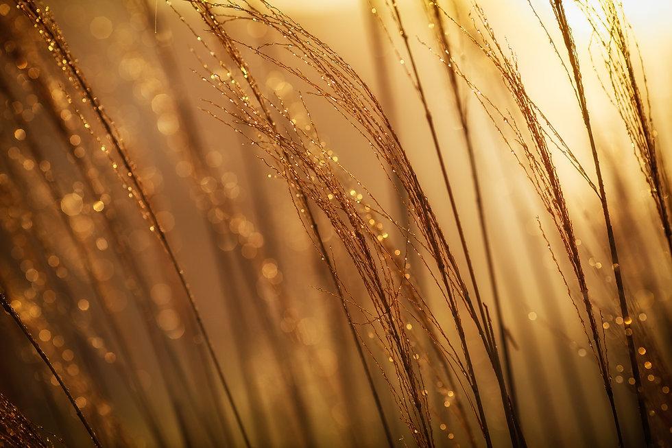 Goldenes Gras -johnny-mcclung-uYTKzVp8loQ-unsplash