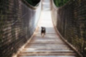 dog-runs-across-bridge_4460x4460.jpg