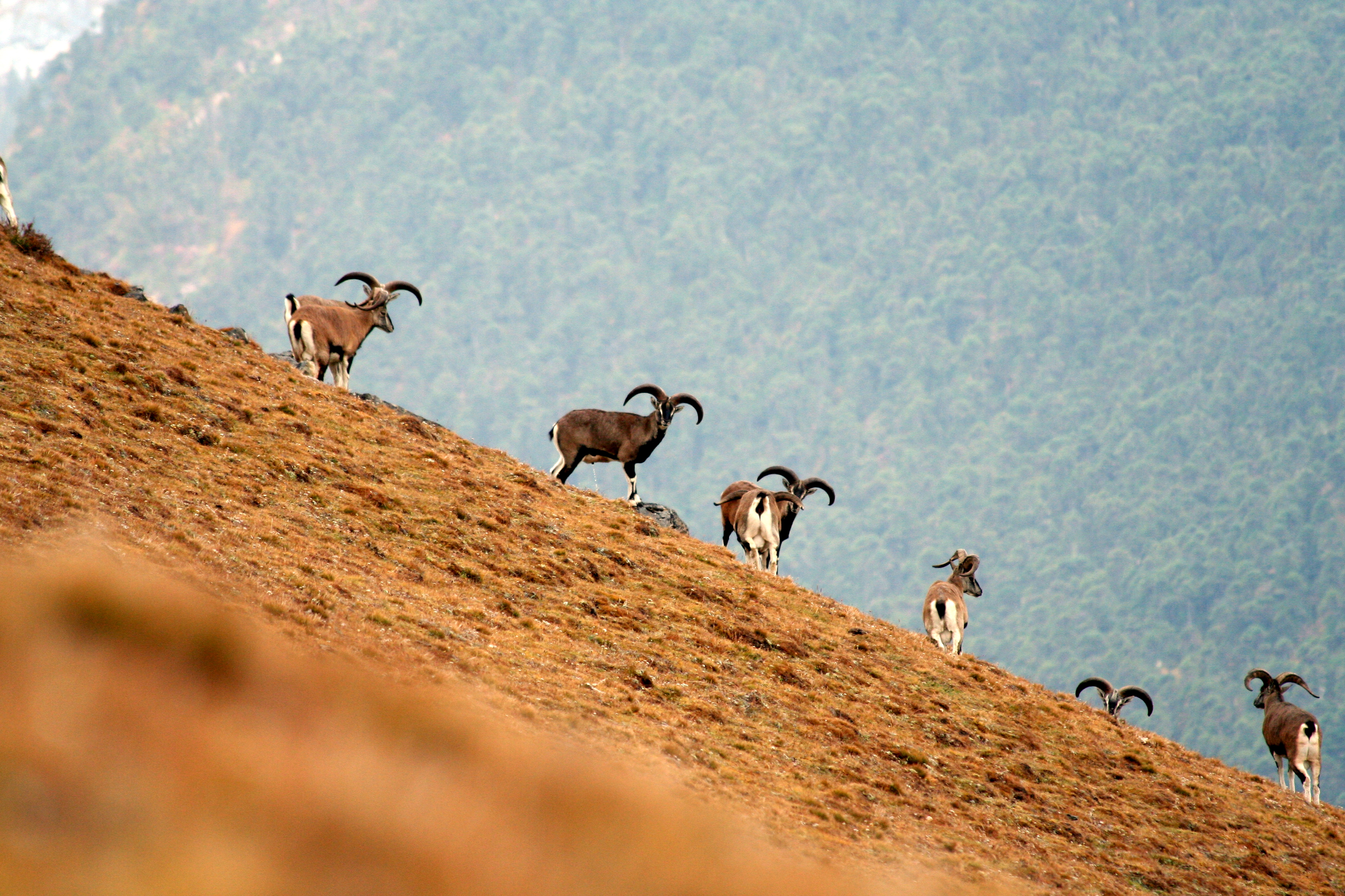 Mountain Goats Bhutan