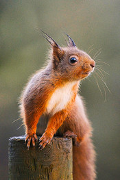 RedSquirrel5inch.jpg
