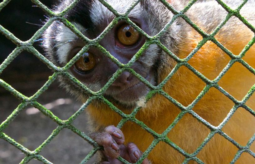An inquisitive male Black-headed night monkey (Aotus nigriceps) (Photo: Gaby Wiederkehr)
