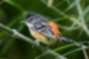 Striated antbird (Tom Ambrose).jpg