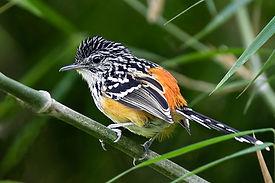 Striated antbird (Tom Ambrose).jpg