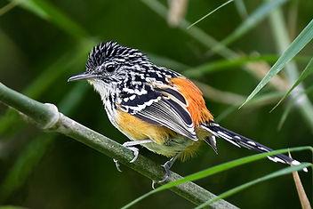 Striated Antbird seen during a Fauna Forever bird survey