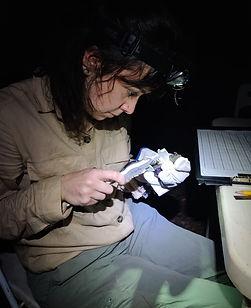 Fauna Forever bat research intern measuring a bat during a Fauna Forever neotropical bat survey
