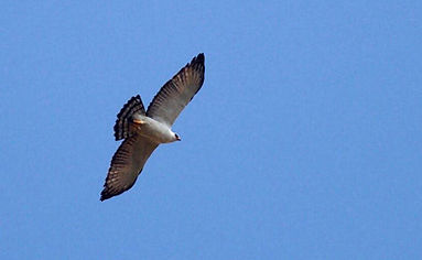 Black-and-white hawk-eagle or Spizaetus