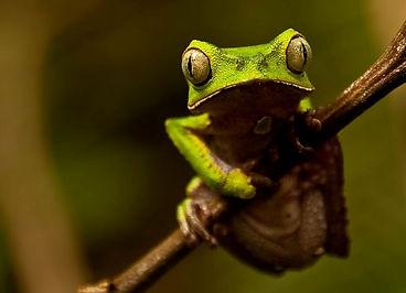 A Giant Monkey Frog (Phyllomedusa bicolor) found during Fauna Forever amphibian surveys