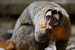 Mammals - Black-headed night monkey (Tom