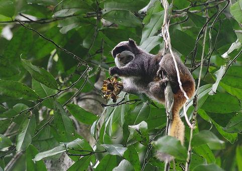 Emperor Tamarin seen during a Fauna Forever primate survey