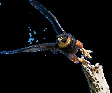 Bat falcon 2 small.png
