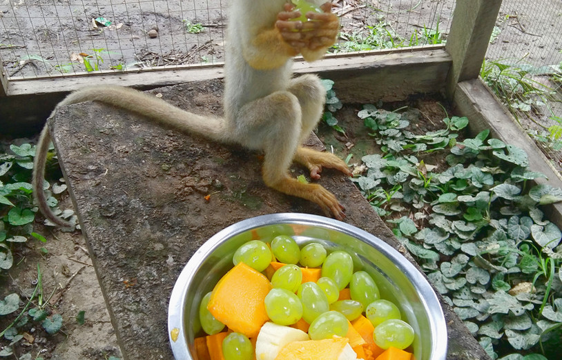 A young and recently rescued Bolivian squirrel monkey (Saimiri boliviensis) tucking into a breakfast of mixed fruit (Photo: Chris Kirkby)