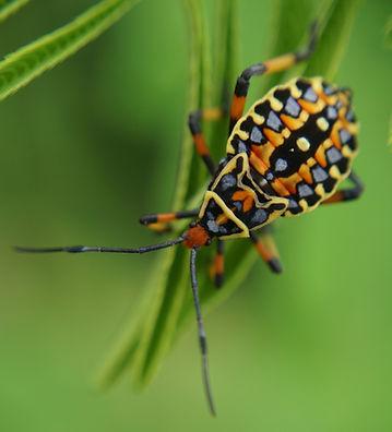 Assasin bug nymph (Chris Kirkby) small.J