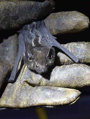 Greater Sac-winged Bat (Saccopteryx bilineata) being held during a Fauna Forever neotropical bat survey