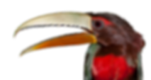 Ivory-Billed Aracari 5.png