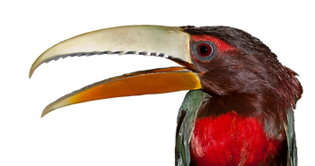 Ivory-Billed Aracari 5.png