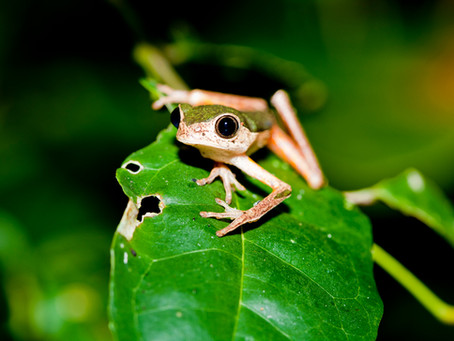 A Behavioural Study of Pristimantis and Phyllomedusa frogs in the Amazon (by William Howell, intern)