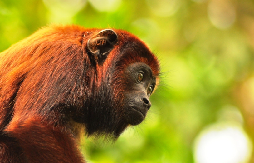 A female Red howler monkey (Alouatta seniculus) at the centre (Photo: Magali Salinas)
