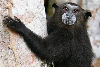 Monkey, Saddleback tamarin (Saguinus fus