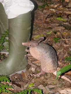 Nine-banded Armadillo found during a Fauna Forever mammal survey