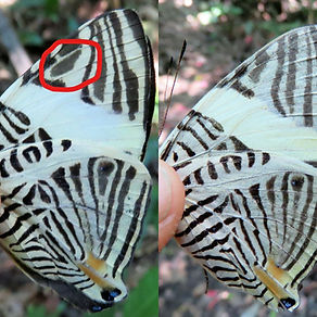 Butterfly - Colobura dirce left and C an