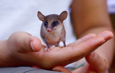 A mouse opossum found during Fauna Forever mammal surveys