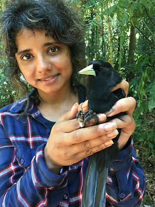 A Fauna Forever Bird Research intern holding a Solitary Black Cacique during Fauna Forever bird research activities