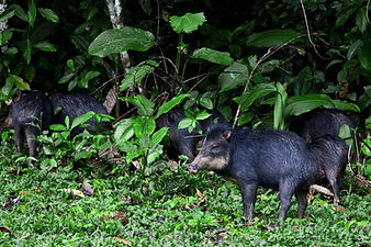 White-lipped Peccaries seen during a Fauna Forever mammal survey