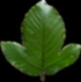 Pourouma leaf 1.png