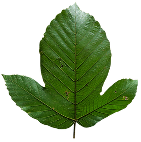 Pourouma leaf 1.png