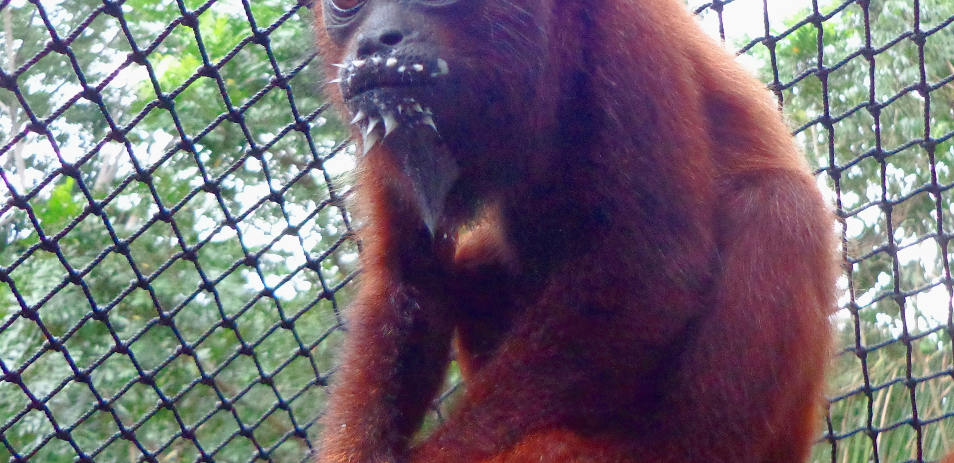 A young howler monkey (Alouatta seniculus) with fresh milk still clinging to his lips (Photo: Magali Salinas)