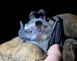 Flat-faced Fruit-eating Bat (Artibeus planirostris) being held during a Fauna Forever neotropical bat survey