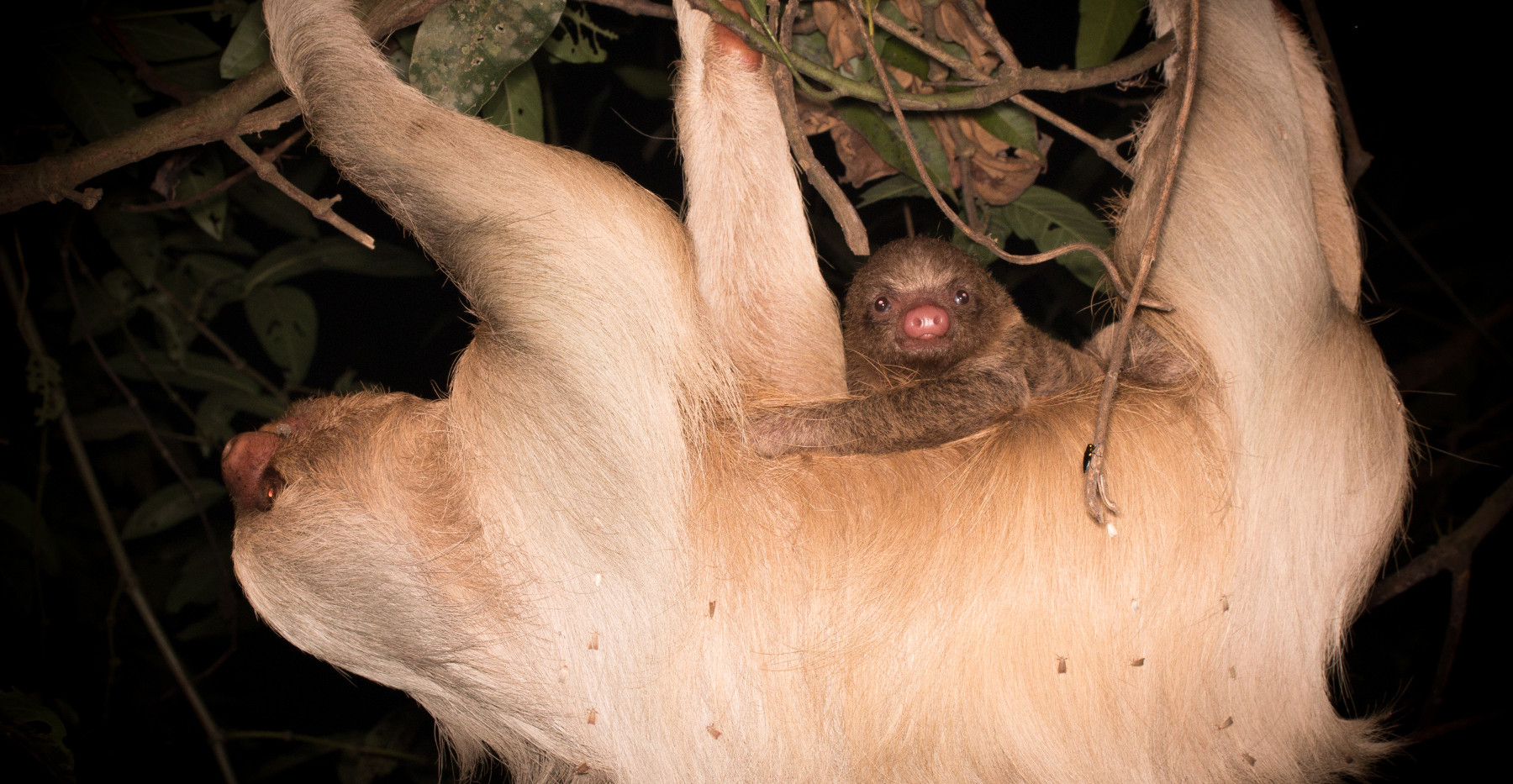 A Hoffman's two-toed sloth (Choloepus hoffmanni) with her baby (P¨hoto: Mark Fernley / Untamed Photography)
