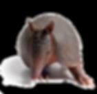 Nine banded armadillo.png