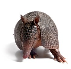 Nine banded armadillo.png