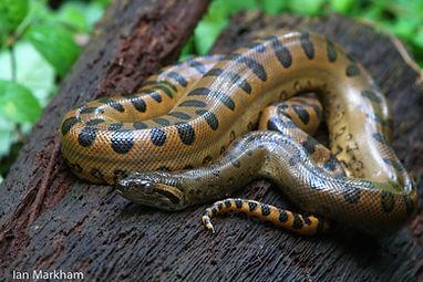 A Green Anaconda found during Fauna Forever reptile surveys
