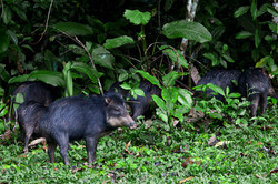 Fauna Forever - Mammal team - White-lipped peccaries (Tom Ambrose)