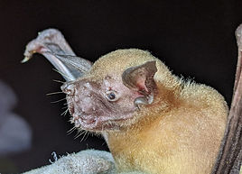Lesser Bulldog Bat (Noctilio albiventris) found during a Fauna Forever bat survey