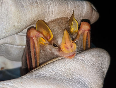 MacConnell's Bat (Mesophylla macconnelli) being held during a Fauna Forever neotropical bat survey