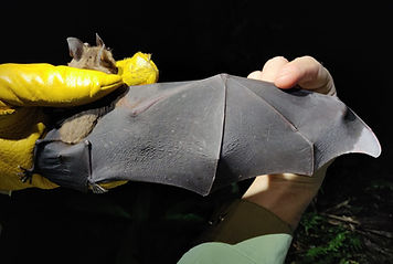 Lesser Spear-nosed Bat (Phyllostomus elongatus) being examined during a Fauna Forever bat survey