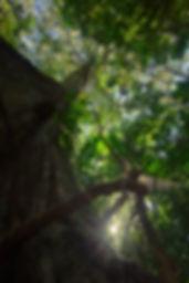 Fig tree at ARCC (Tom Ambrose).jpg
