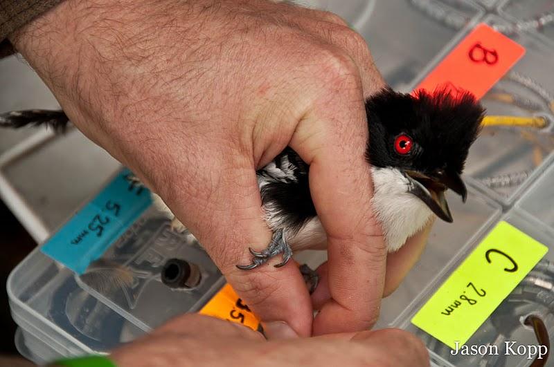 Fauna Forever - Bird research - Antshrike banding (Jason Kopp)