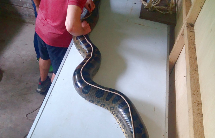 A Green anaconda (Eunectes murinus) being carefully measured, with the help of a thin rope, in the lab area (Photo: Chris Kirkby)