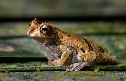 A Horned Forest Tree Frog (Dendropsophus kamagarini) found during a Fauna Forever amphibian survey