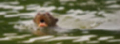 Mammals - Giant otter (Juan Carlos Huayl